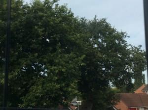 Oak tree's