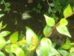 Hedgehog - British Mammal under pressure from modern life styles in the UK.