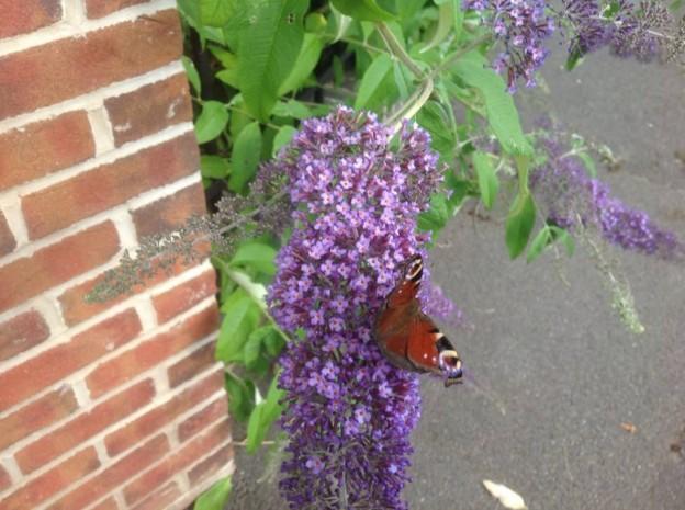 Peacock Butterfly- Essington & Wyrley Canal near Moathouse Bridge.